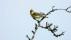 Icterine Warbler - Härmsångare