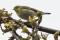 Wood Warbler - Grönsångare