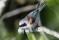 Eurasian Pendulin Tit - Pungmes samlar bomaterial vid Petgärde