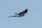 Common Cuckoo - Gök