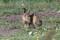 European hare - Fälthare
