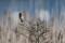 Stonechat - Svarthakad buskskvätta i Klagshamn