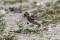 Common Reed Bunting - Sävsparv hona samlar hästtagel till boet