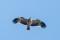 Eastern Imperial Eagle - Kejsarörn