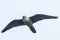 Peregrin Falcon - Pilgimsfalk
