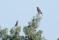 Parrot Crossbill - Större korsnäbb