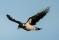 Hooded Crow - Gråkråka