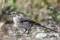 White Wagtail - Sädesärla