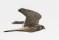 Common Kestrel - Tornfalk