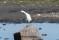 Little Egret - Silkeshäger