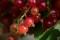 Red Currant - Röda Vinbär