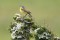 Yellow Wagtail - Gulärla