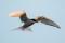 Arctic Tern - Silvertärna