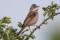 Common  Whitethroat - Törnsångare