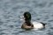 Greater Scaup, male - Bergand, hane