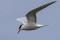 Common Tern - Fisktärna