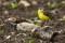 Western Yellow Wagtail - Gulärla