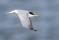 Little Tern - Småtärna