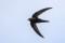 Common Swift - Tornseglare