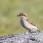 Red-backed Shrike, female - Törnskata, hona