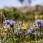 """Flowers on the """"Alvar"""" - Blommor på Alvaret"""