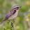 Whinchat - Buskskvätta