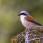 Red-backed Shrike, male - Törnskata, hanne