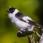 Collared Flycatcher - Halsbandsflugsnappare