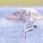 Black Tern - Svarttärna