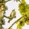 Greenish Warbler - Lundsångare