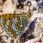 Glanville Fritillary - Ängsnätfjäril