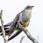 Common Cucko - Gök