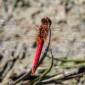 Red-veined Chaser - Vandrande ängstrollslända