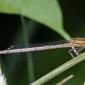 White-legged Damselfly, female - Flodflickslända, hona