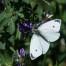 Small White - Rovfjäril