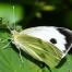 Large White - Kålfjäril