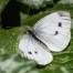 Green-veined White - Rapsfjäril