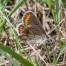 Brown Argus, male - Rödfläckig blåvinge, hanne