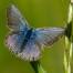 Common blue, female - Puktörneblåvinge, hona