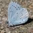 Holly Blue - Tosteblåvinge