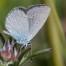 Small Blue - Mindre blåvinge