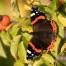 Red Admiral - Amiral