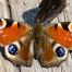 Peacock Butterfly - Påfågelsöga