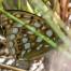 High Brown Fritillary - Skogspärlemorfjäril