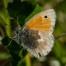 Small Heath - Kamgräsfjäril