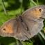 Meadow Brown - Slåttergräsfjäril