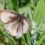 Meadow Brown ab radiata - Slåttergräsfjäril ab radiata
