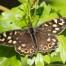 Speckled Wood - Kvickgräsfjäril