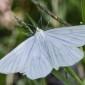 Black-veined Moth - Svartribbad vitvingemätare