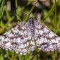 Common Heath - Ängsmätare